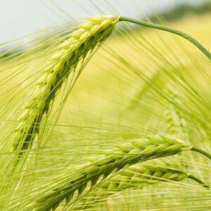 Маурицио семена озимой пшеницы, Saatbau (Заатбау)