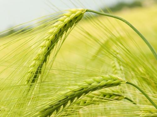 Роланд насіння озимої пшениці, Saatbau (Заатбау), безоста, Еліта