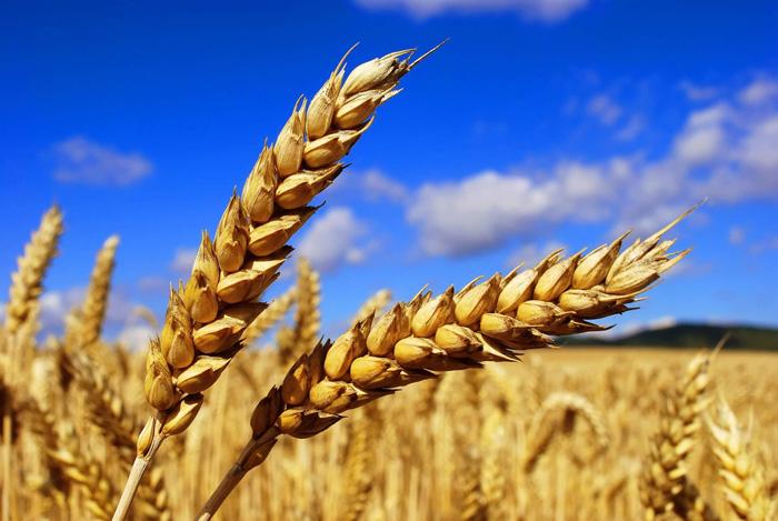 Семена яровой пшеницы Куинтус