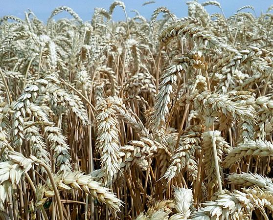 Кубус семена озимой пшеницы, KWS (КВС), безостая, Элита