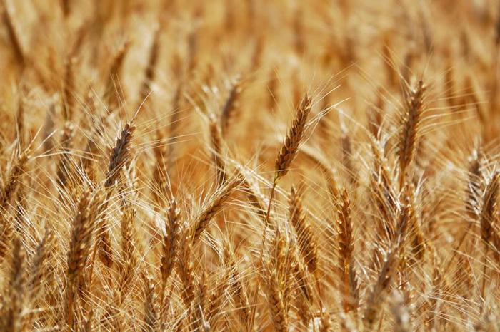 Лейди семена ярой пшеницы