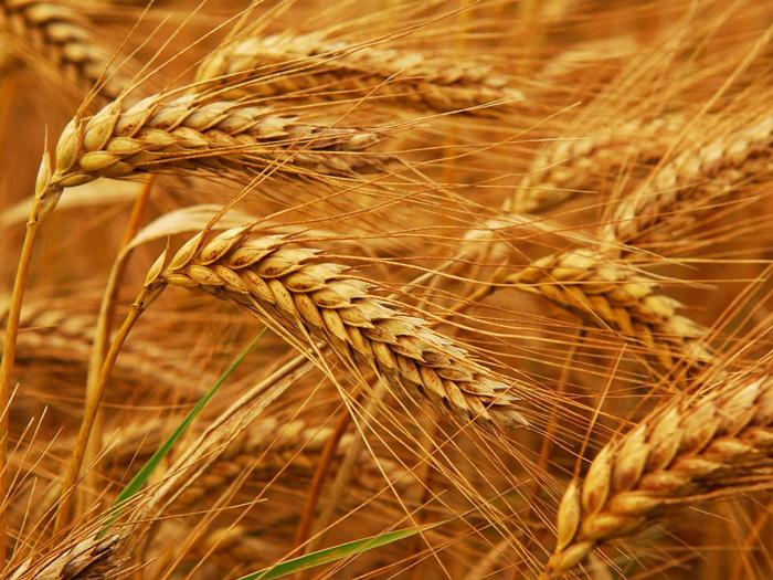 Смуглянка семена озимой пшеницы, НАН, остая, Элита
